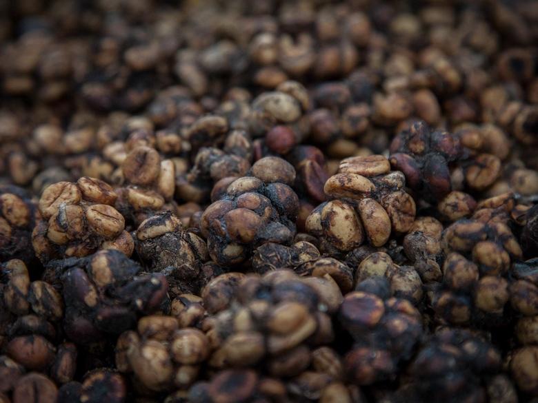 O καφές των 550 ευρώ που προέρχεται από περιττώματα αγριόγατας