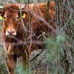 Τέλος της απόδρασης και συνταξιοδότηση για την αγελάδα που έζησε ελεύθερη εκτός σφαγείου