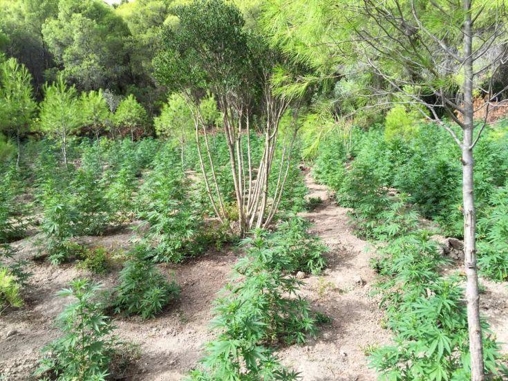 Φυτεία με 236 δενδρύλλια κάνναβης στη Μεσσηνία