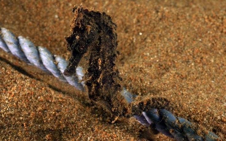 Ένας τόνος εγκαταλελειμμένων διχτύων σε ύφαλο κοντά σε αποικία ιππόκαμπων