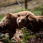 Ξύπνησαν οι αρκούδες στο Νυμφαίο της Φλώρινας